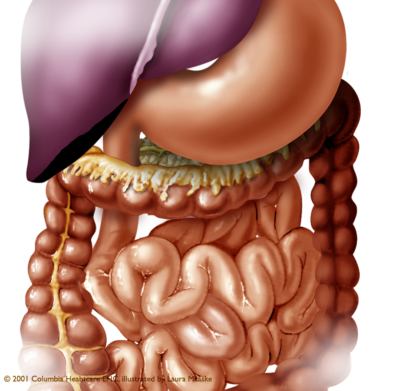 Abdominal Illustration: Organs of the Abdomen