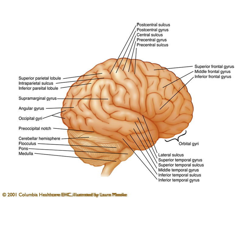 Information About Anatomy Of The Brain External Illustration With