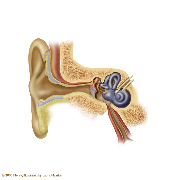 Ear Anatomy Illustration: Outer, Middle, and Inner Ear