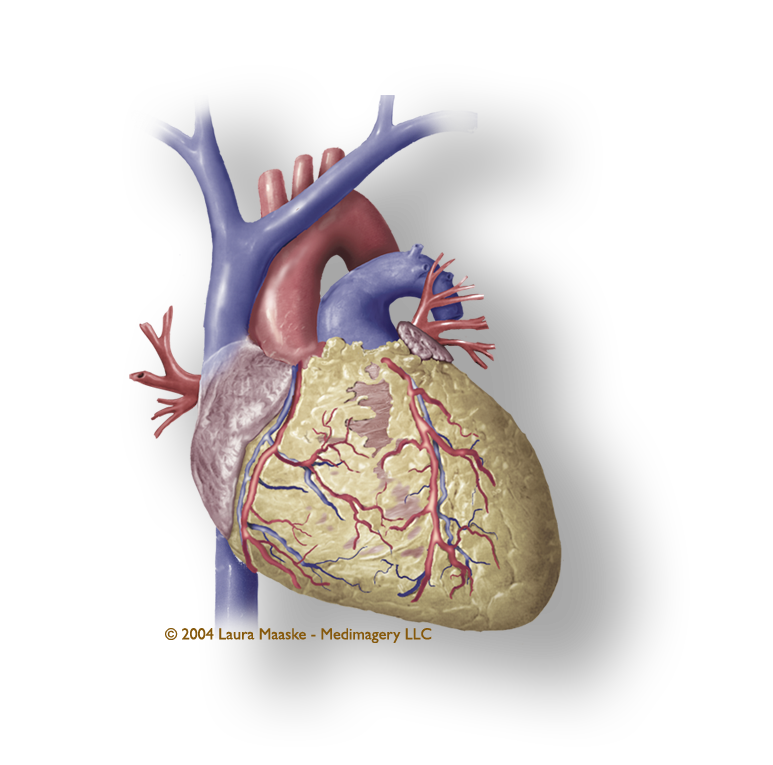 Heart Illustration: External View of Heart: Coronary Vessels