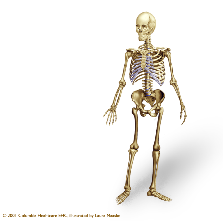 illustration of the human skeleton, Skeleton