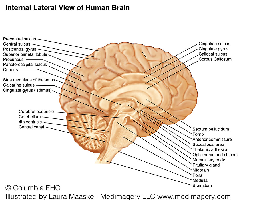 Brain Anatomy & Illustration | Metaphors in Medicine – Medical ...