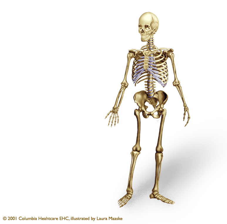 Illustrated Human Skeleton Medical Illustrations Animations By