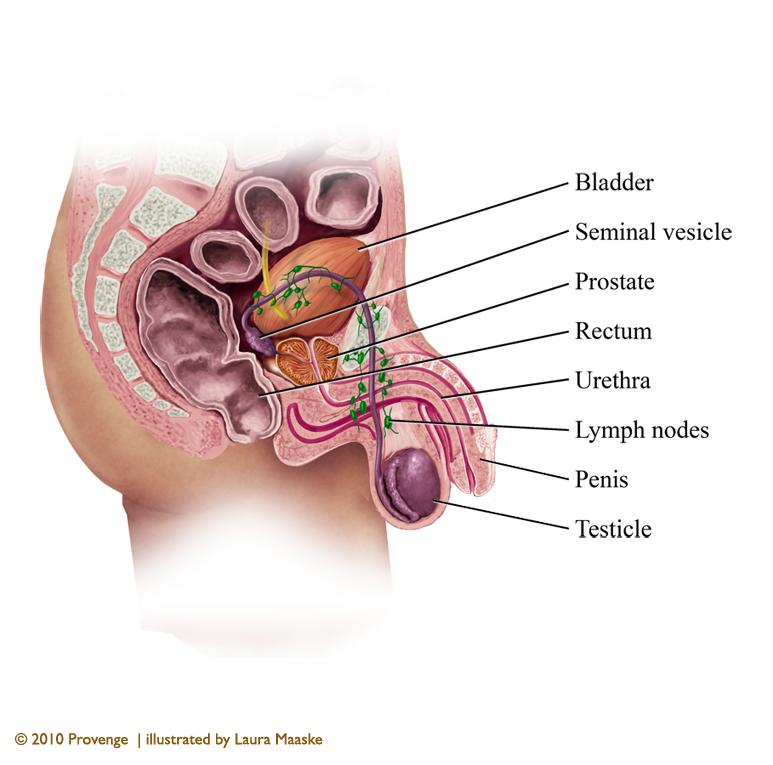 Illustrated Male Reproductive System Anatomy By Laura Maaske Medical